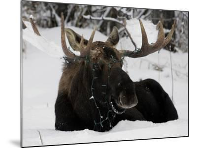 Bull Moose with Christmas Lights Tangled in its Antlers Rests in a Field in Anchorage, Alaska--Mounted Photographic Print