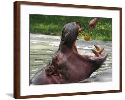 Keeper Feeds a Hippopotamus at the Kiev's Zoo, Ukraine--Framed Photographic Print