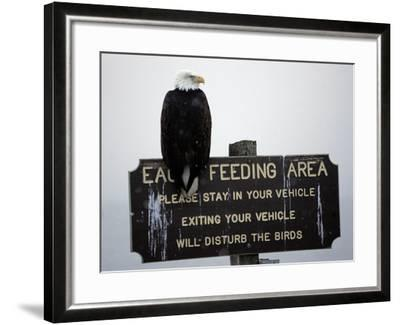 A Bald Eagle Sits on a Sign at the Eagle Feeding and Viewing Area--Framed Photographic Print