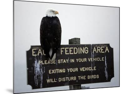 A Bald Eagle Sits on a Sign at the Eagle Feeding and Viewing Area--Mounted Photographic Print