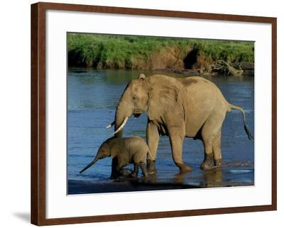 An Elephant and Her Calf Cross a River--Framed Photographic Print