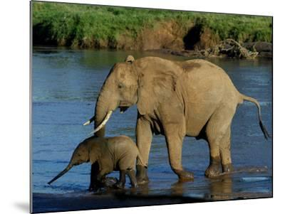 An Elephant and Her Calf Cross a River--Mounted Photographic Print