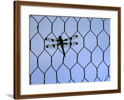 A Dragonfly Clings to the Wire of a Backstop During the Iowa High School Baseball Tournament--Framed Photographic Print