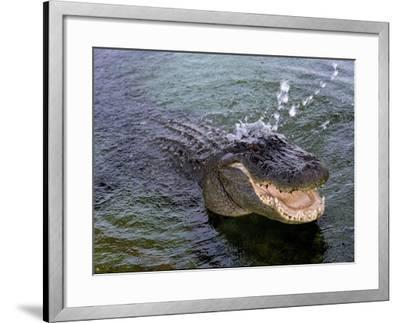 An Alligator Leaps from the Water in the Louisiana Bayou--Framed Photographic Print