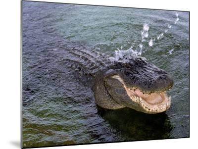 An Alligator Leaps from the Water in the Louisiana Bayou--Mounted Photographic Print