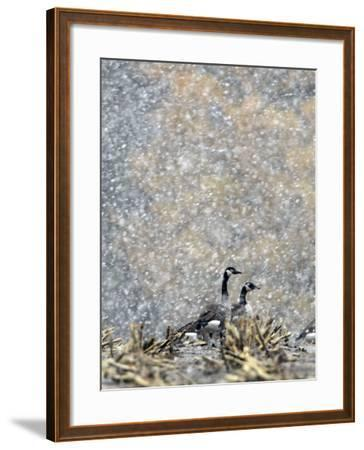 Canada Geese Weather an Autumn Snow Storm in a Corn Field in New Salem, New York--Framed Photographic Print