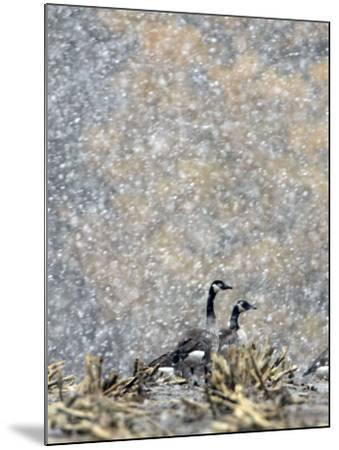 Canada Geese Weather an Autumn Snow Storm in a Corn Field in New Salem, New York--Mounted Photographic Print