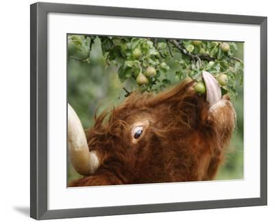 One of a Herd of Scottish Highland Cattle Picks Pears from a Tree in Gockhausen, Switzerland--Framed Photographic Print