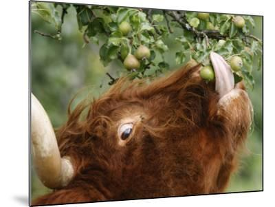 One of a Herd of Scottish Highland Cattle Picks Pears from a Tree in Gockhausen, Switzerland--Mounted Photographic Print