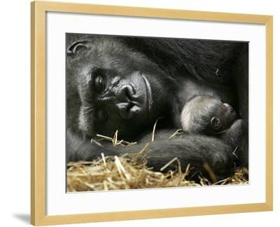 Western Lowland Gorilla, Cradles Her 3-Day Old Baby at the Franklin Park Zoo in Boston--Framed Photographic Print