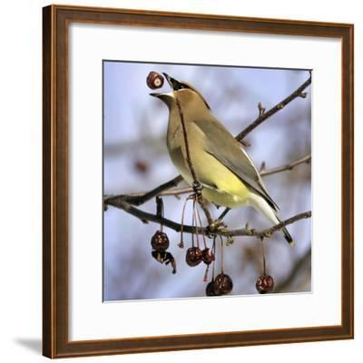 Cedar Waxwing Tosses Up a Fruit from a Flowering Crab Tree at the Town Hall--Framed Photographic Print