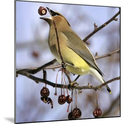 Cedar Waxwing Tosses Up a Fruit from a Flowering Crab Tree at the Town Hall--Mounted Photographic Print