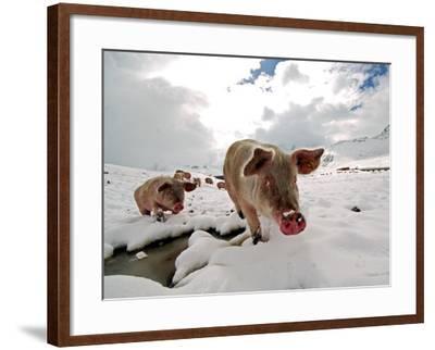 Pigs Make their Way Through a Snowy Landscape Near the Alpine Village of Schruns in Austria--Framed Photographic Print