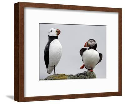 Atlantic Puffin Appears to Imitate a Decoy by Standing on One Leg, on Eastern Egg Rock, Maine--Framed Photographic Print