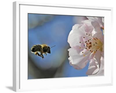 Bee Flies Towards the Blossom of an Almond Tree in a Park in Freiburg, Southern Germany--Framed Photographic Print