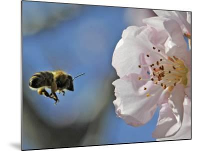 Bee Flies Towards the Blossom of an Almond Tree in a Park in Freiburg, Southern Germany--Mounted Photographic Print