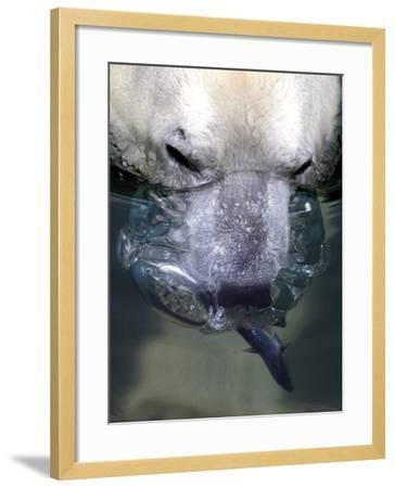 Budapest Zoo's 19 Year-Old Polar Bear (Ursus Maritimus) Catches Fish in Her Pool--Framed Photographic Print