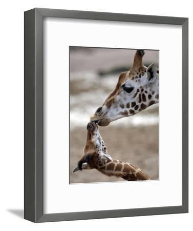 APTOPIX DEU Tiere Giraffenbaby-Kai-uwe Knoth-Framed Photographic Print