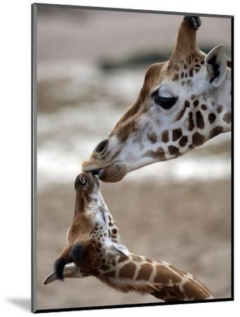 APTOPIX DEU Tiere Giraffenbaby-Kai-uwe Knoth-Mounted Photographic Print