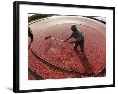 APTOPIX Cranberry Harvest-Charles Krupa-Framed Photographic Print