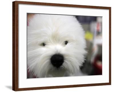 APTOPIX Westminster Dog Show-Mary Altaffer-Framed Photographic Print