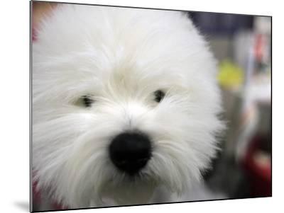 APTOPIX Westminster Dog Show-Mary Altaffer-Mounted Photographic Print