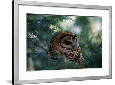 Spotted Owl--Framed Photographic Print