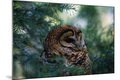 Spotted Owl--Mounted Photographic Print