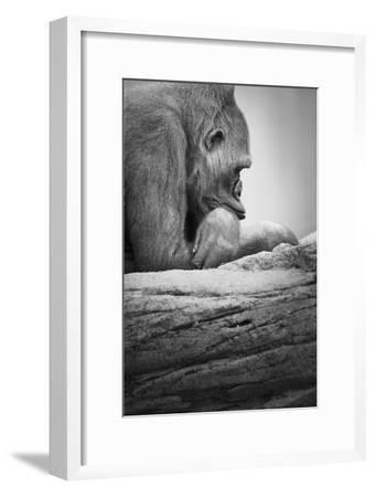 Gorilla--Framed Photographic Print