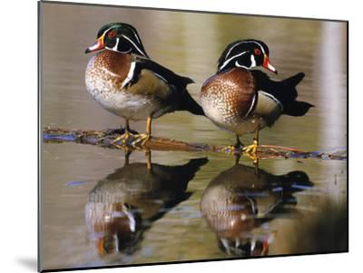 Wood Ducks--Mounted Photographic Print