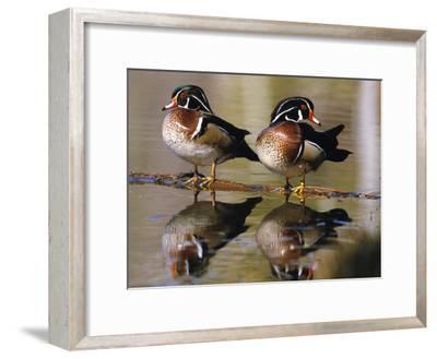 Wood Ducks--Framed Photographic Print