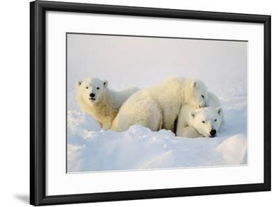 Polar Bears--Framed Photographic Print