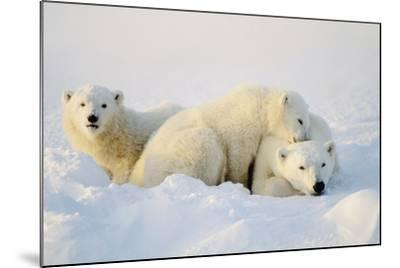 Polar Bears--Mounted Photographic Print