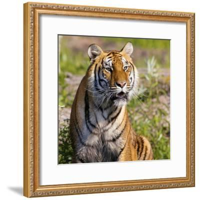 Tiger--Framed Photographic Print