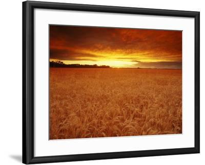 Wheat Field at Sunset--Framed Photographic Print