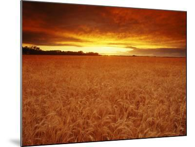 Wheat Field at Sunset--Mounted Photographic Print
