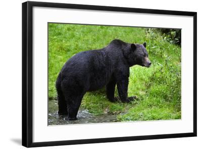 Black Bear--Framed Photographic Print