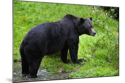 Black Bear--Mounted Photographic Print