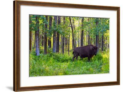 Bison--Framed Photographic Print