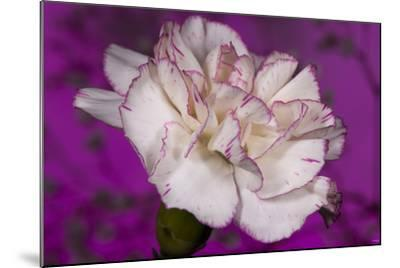 Carnation-Gordon Semmens-Mounted Photographic Print