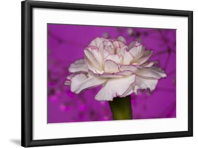 Carnation-Gordon Semmens-Framed Photographic Print