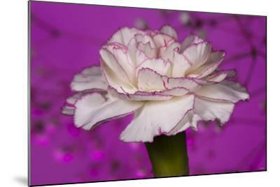 Carnation-Gordon Semmens-Mounted Photographic Print