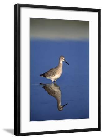 Sand Piper Bird--Framed Photographic Print
