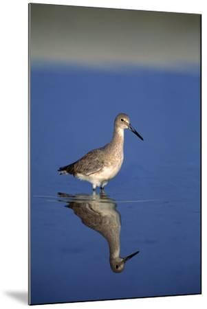 Sand Piper Bird--Mounted Photographic Print