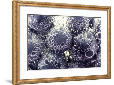 Bubbling Blueberries-Carrie Webster-Framed Photographic Print