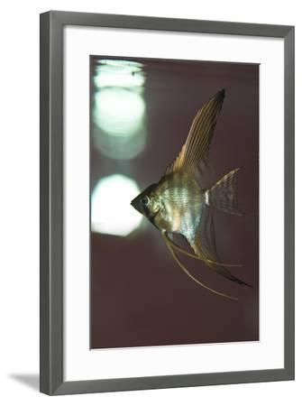 Angel Fish XI-Gordon Semmens-Framed Photographic Print