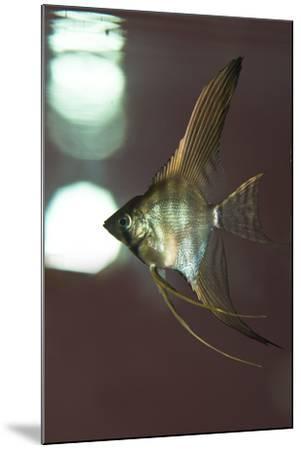Angel Fish XI-Gordon Semmens-Mounted Photographic Print