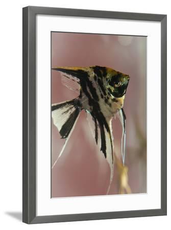 Angel Fish IX-Gordon Semmens-Framed Photographic Print