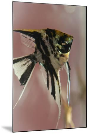 Angel Fish IX-Gordon Semmens-Mounted Photographic Print