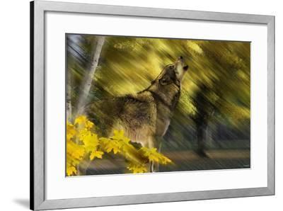 Howling Wolf-Gordon Semmens-Framed Photographic Print